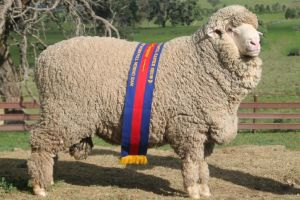 Classification and properties of wool